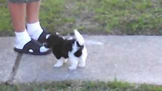 Shih-tzu/pom Pups 8 Weeks Old - $350 (chalmette)