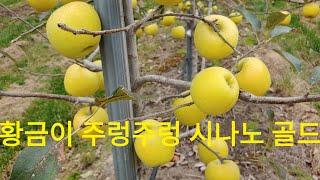 #사과시나노골드. 아름다운 사과 모습. 긴 장마에도 농…