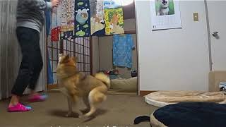 柴犬(siba)コロスケはマテが可笑しい!!