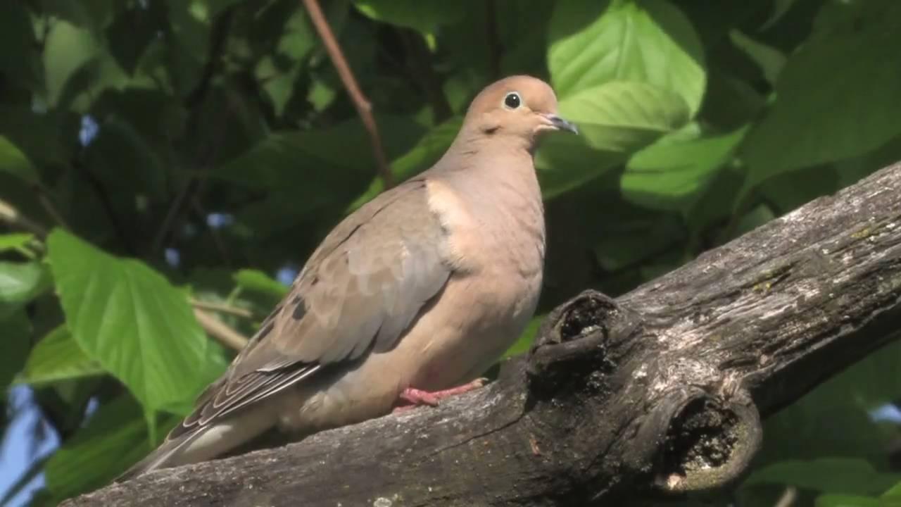 Mourning dove portrait youtube buycottarizona