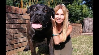 THE BOERBOEL LION DOG  MOST POWERFUL MASTIFF IN SOUTH AFRICA