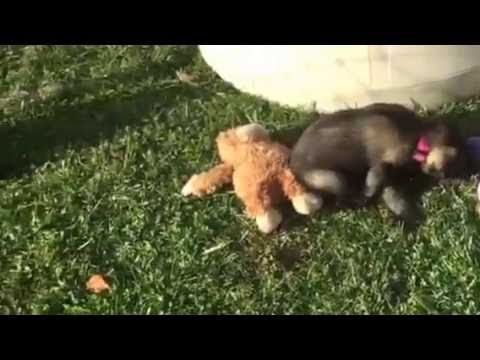 Rosies standard schnauzer puppies five weeks old