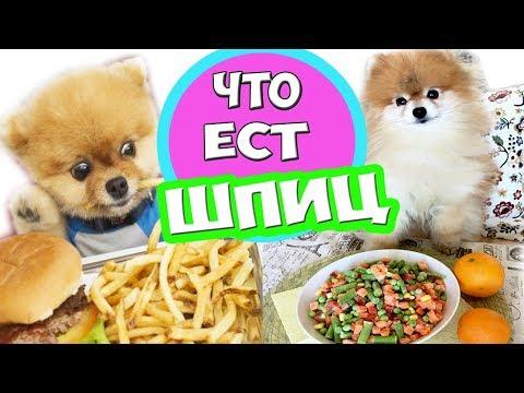 Как кормить щенка шпица 3 месяца