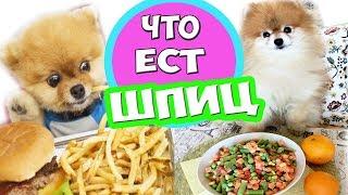 ЧЕМ КОРМИТЬ ПОМЕРАНСКОГО ШПИЦА  ✔️Натуральное кормление собак