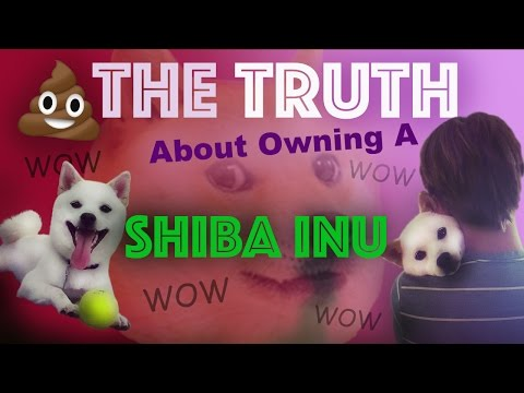 The Truth About Owning A Shiba Inu! FOXY FRIDAY