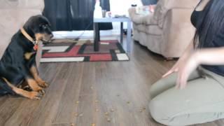 12 weeks rottweiler puppy traning