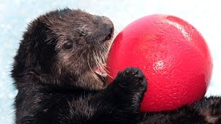rescued sea otter finds new home at audubon aquarium