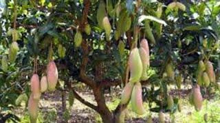 cara menanam pohon mangga dari biji agar cepet berbuah. pelok mangga yang belum lama disemai