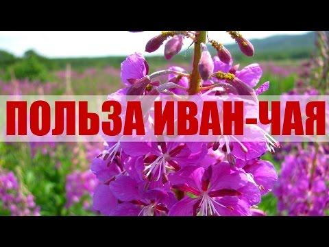 Иван-чай Польза