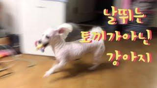단추의실체 ㅎㄷㄷ/단추근황/미용/날뛰는강아지