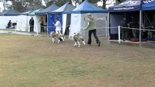 Akita Judging At The T & G Kennel Club Show 26 07 2014
