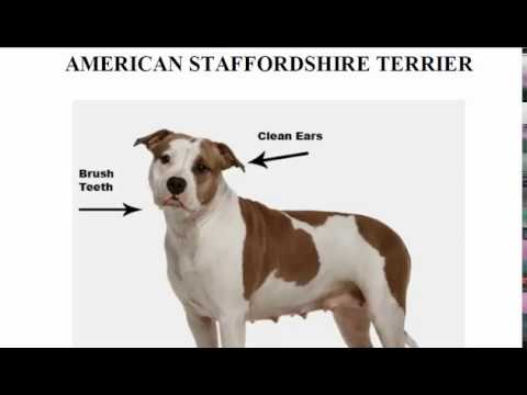 American Staffordshire Terrier, How to Groom the American Staffordshire Terrier, Pit Bull