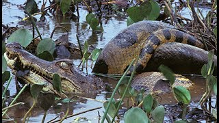 Snake attack - Anaconda vs crocodile - Attack anaconda python poisonous snakes