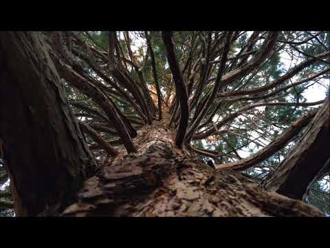 Giant redwood (Sequoiadendron giganteum) - canopy - February 2018