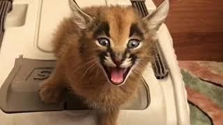 Котик с другой планеты. Самые невероятные звуки. ШОК если такое услышать ночью.