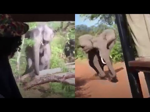 After Tourists On A Safari Spotted An Elephant, They Suddenly Realized They Were In Grave Danger