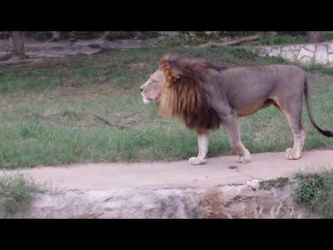 Lion Roar Scares Bystanders