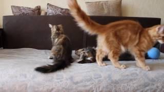 Котята мейн-кун - нам почти 4 месяца