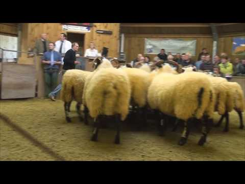 Hexham Mart Breeding Sheep Prize Show and Sale - October 2nd 2014