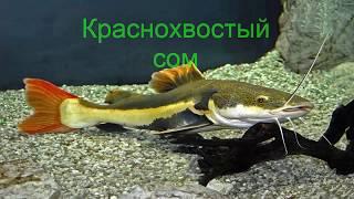 Краснохвостый сом. Рыба сом.