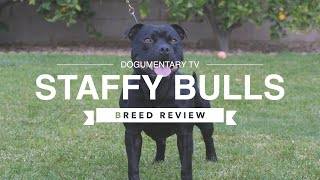 STAFFORDSHIRE BULL TERRIER BREED REVIEW