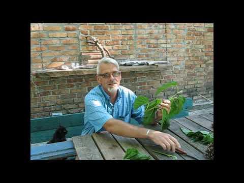 Как размножается шелковица