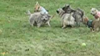 Cairn Terrier Rescue Puppies In Nj- Part 3 Of 5