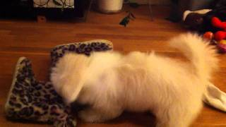 How playful Coton de Tulear dogs are...