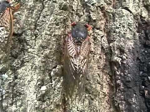 Cicada Kama Sutra