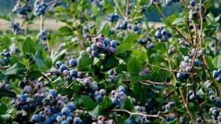 Conway & Loretta - Pickin Wild Mountain Berries