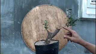 Bonsai - AKG…