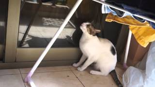 Crazy angry cat scratches me twice! aggressive cat claws me! Bibi gets wild!