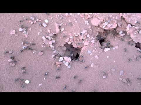 Ants in Arizona