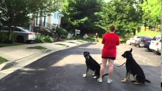 "5 Yr Old Lab Mix ""allie"": Dog Training, Off Leash K9 Training, Maryland"