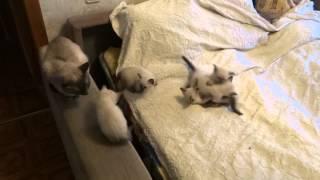 Тайские котята (1 месяц - 18 ноября 2013г)