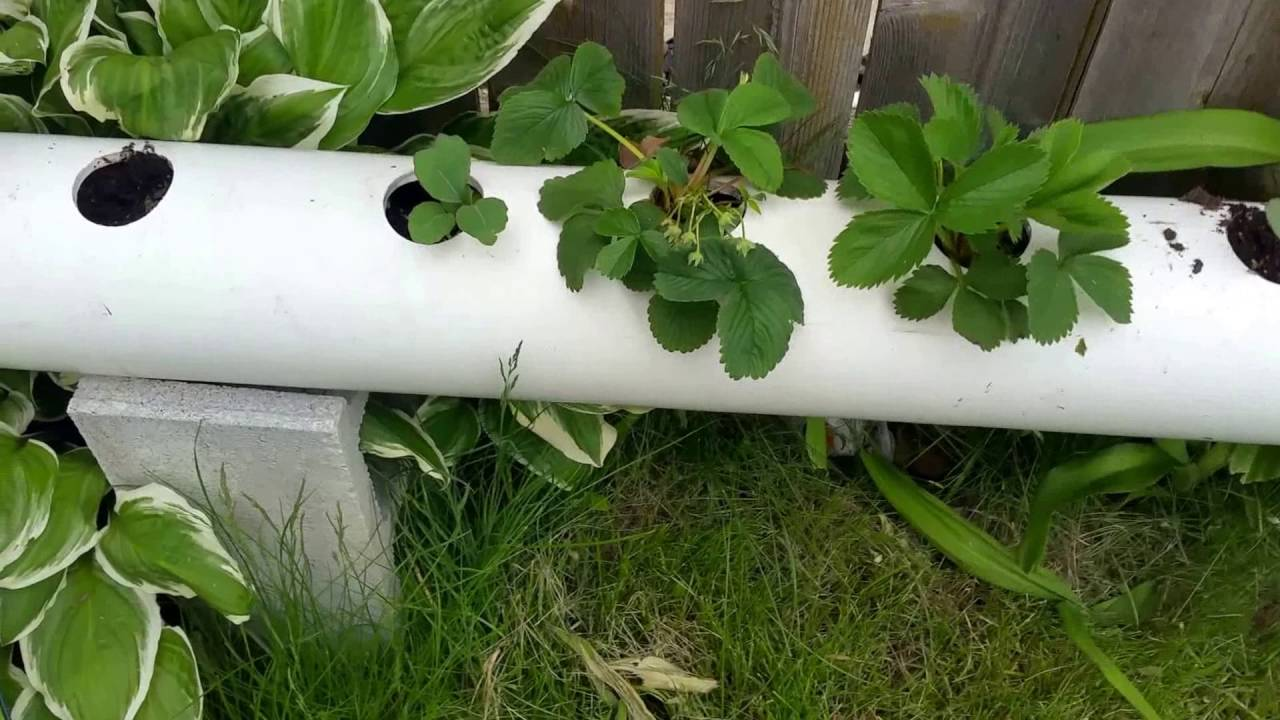 Growing strawberries in PVC pipes vertically 74