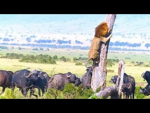DANGER!! Lion climbs tree to escape herd of buffalo (Lions Documentary)
