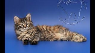 Котенок - кошечка Курильского бобтейла Веста Звезда Курил (2 месяца)