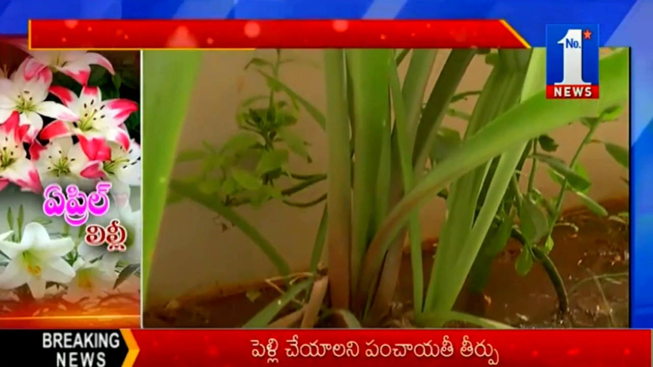 Special Story On Lily Flower No1 News Youtube