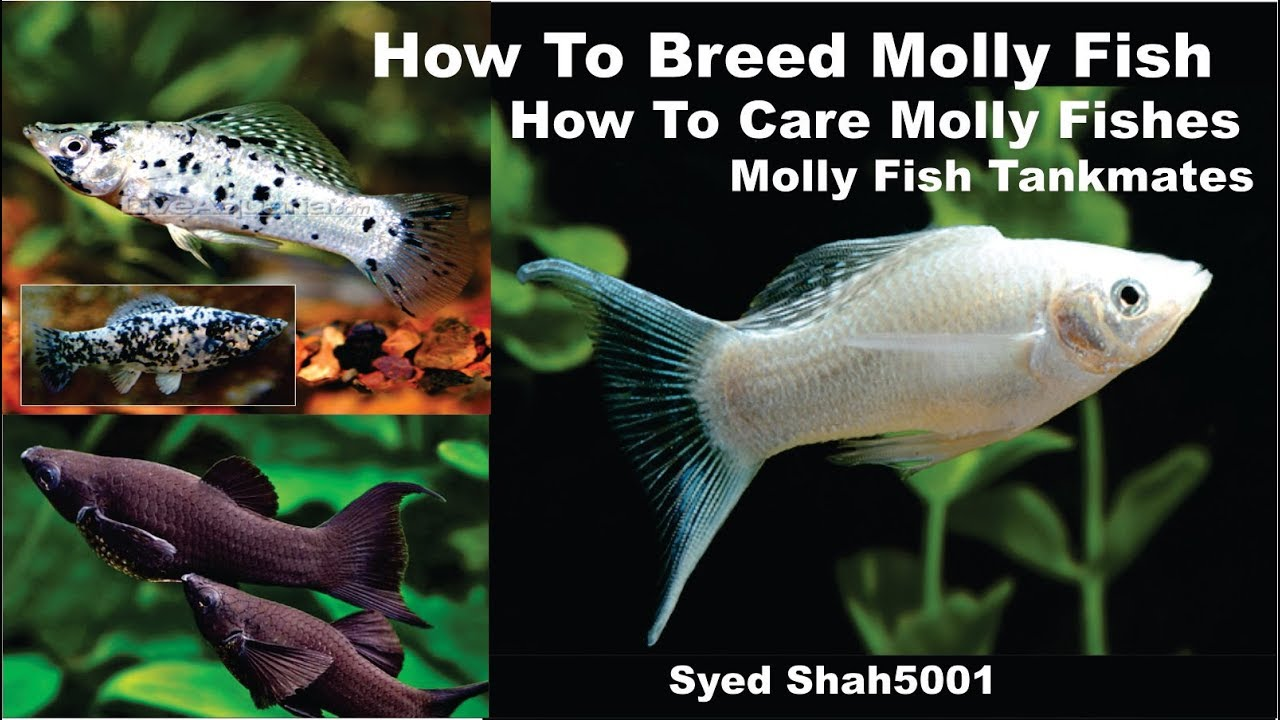 How To Breed Molly Fish Facts Feeding Tank Mates Tips In