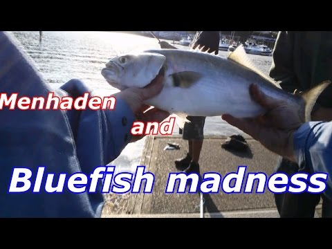 Hunt For A River Monster - Bluefish And Striped Bass CT 2016