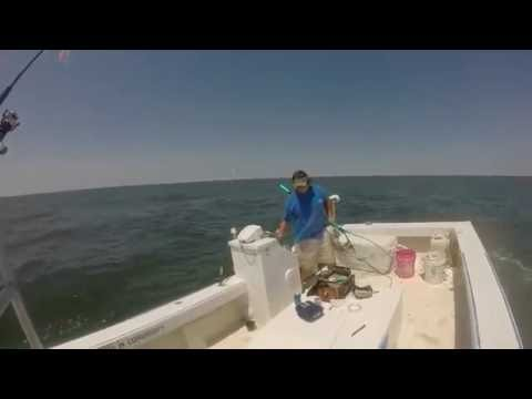 Chesapeake Bay Cobia Fishing