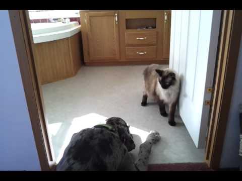 Not-So-Ninja Cat Sneaking Past A Great Dane (VIDEO)