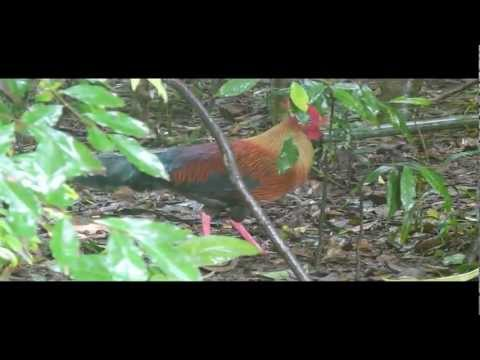 Wild Chicken (Sri Lanka Junglefowl)
