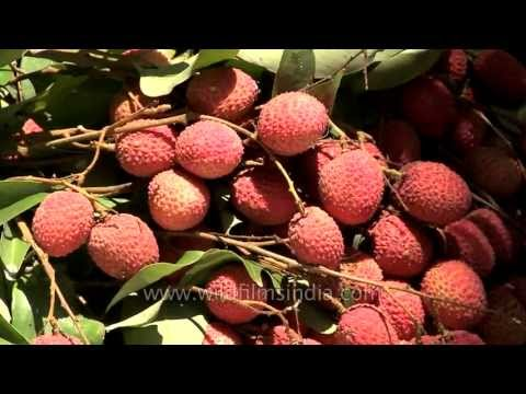 Lychee Plucking expertise