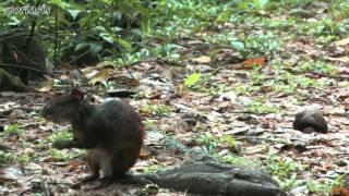 Крупный грызун Агути / Agouti