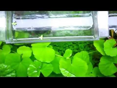Гидрокотила белоголовая (Hydrocotyle leucocephala)