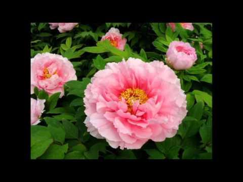 Цветы пионы - Как выглядит пион?