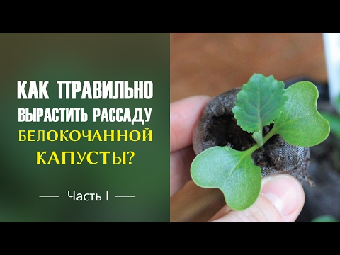 Как правильно вырастить рассаду белокочанной капусты?