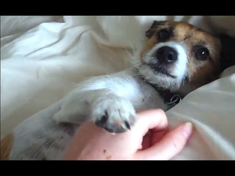 'Dogs Begging For Belly Rubs Compilation' || CFS